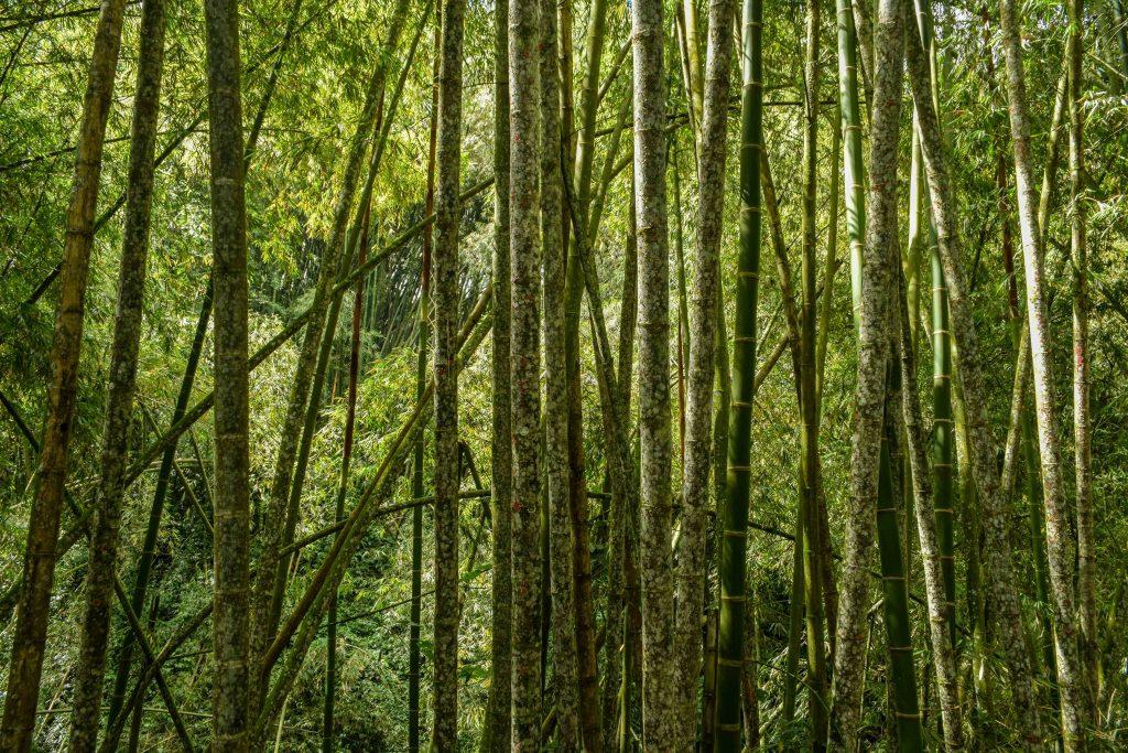 El paisaje cafetero entre verdes guaduales es un deleite para el alma.